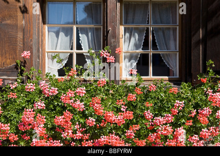 Pink geraniums in a window box of a wooden house in vals - Stock Photo