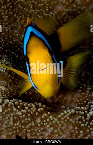 Close-up of anemone fish. - Stock Photo
