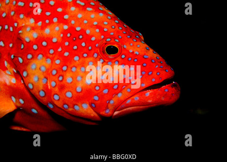 Close-up of coral grouper. - Stock Photo
