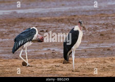 Marabou Stork Leptoptilos crumeniferus Laikipia Sweetwaters Privat RESERVE KENYA East Africa - Stock Photo