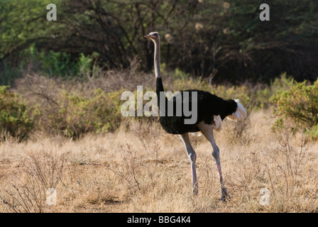 male Somali Ostrich Struthio camelus molybdophanes SAMBURU NATIONAL RESERVE KENYA East Africa - Stock Photo