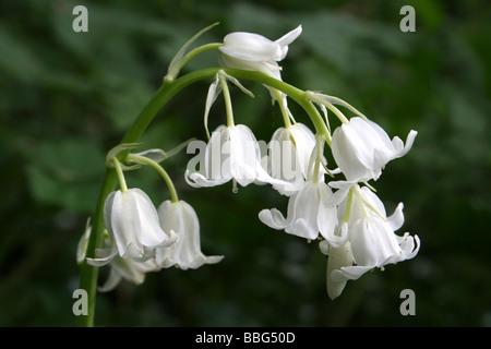 White Form Of Spanish Bluebell Hyacinthoides hispanica - Stock Photo