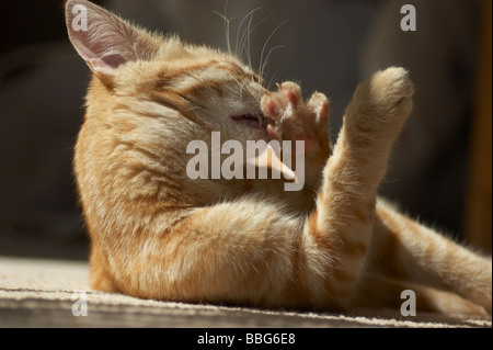 Ginger tabby cat cleaning, licking paw grooming herself - Stock Photo