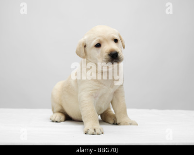 Single Labrador puppy sitting on a white table against a grey background - Stock Photo