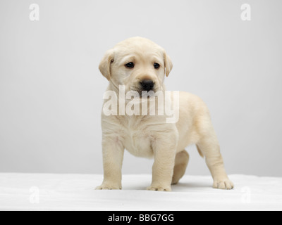 Single Labrador puppy standing on a white table, against a grey background - Stock Photo