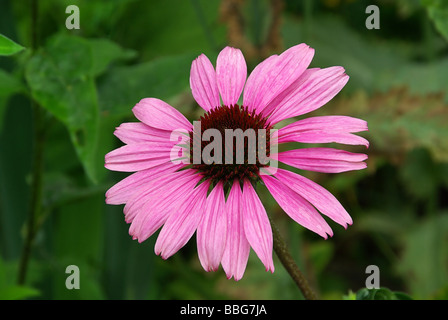 Sonnenhut Purpur Purple Coneflower 04 - Stock Photo