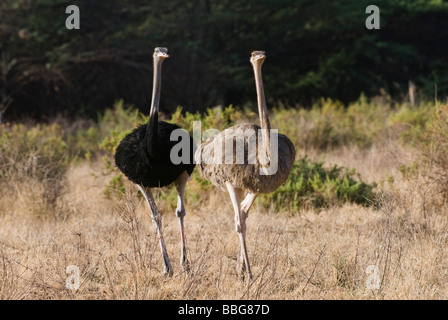 courtship display of Somali Ostrich Struthio camelus molybdophanes SAMBURU NATIONAL RESERVE KENYA East Africa - Stock Photo