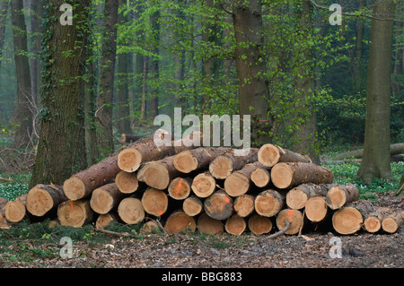 Freshly cut pine wood, red-marked trunks in the forest are available for pickup - Stock Photo