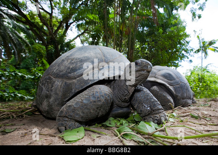 Aldabra Giant Tortoise (Geochelone gigantea), Mahe Island, Seychelles, Indian Ocean, Africa - Stock Photo