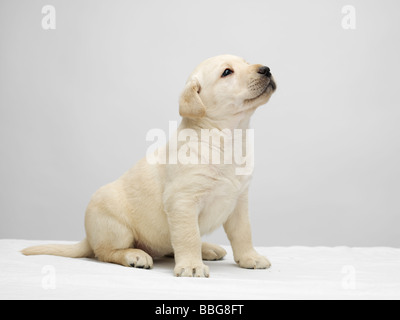 Single Labrador puppy sitting and looking up on a white table against a grey background - Stock Photo