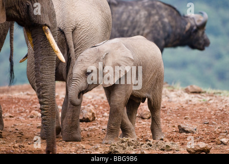 young African Elephant baby Loxodonta africana THE ARK ABERDARE NATIONAL PARK KENYA East Africa - Stock Photo