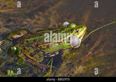 European edible frog (Rana esculenta), with inflated vocal sac - Stock Photo