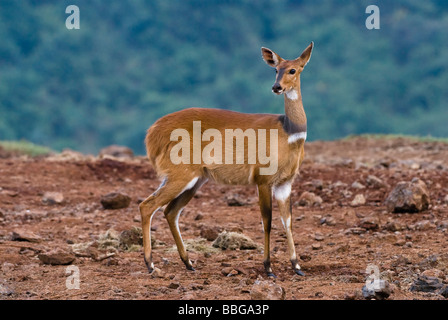 female Bushbuck Tragelaphus scriptus THE ARK ABERDARE NATIONAL PARK KENYA East Africa - Stock Photo