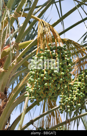 Fruit growing on a date palm tree at the Palm Arboretum Oasis farm Thermal CA - Stock Photo