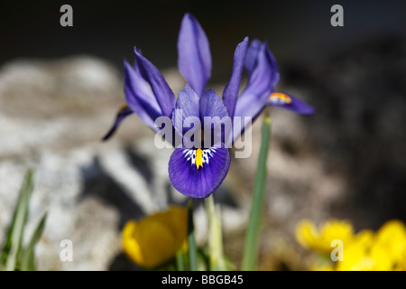 Dwarf Iris or Reticulated Iris (Iris reticulata), Spring Flower - Stock Photo