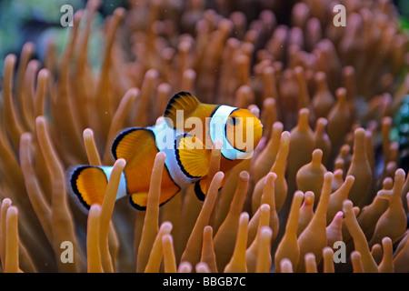 Clownfish (Amphiprion ocellaris), Nemo, in Anemone (Heteractis spec.) - Stock Photo