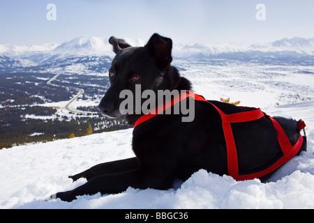Resting sled dog, Alaskan Husky with harness, Log Cabin, White Pass, Chilkoot Pass, Chilkoot Trail, British Columbia, - Stock Photo