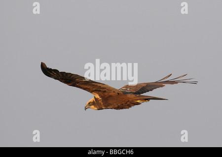 Female Western Marsh Harrier (Circus aeruginosus) in flight - Stock Photo