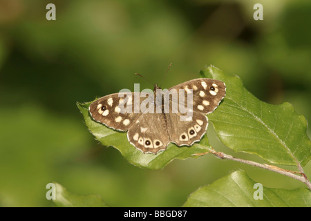 Speckled Wood (Pararge aegeria) - Stock Photo
