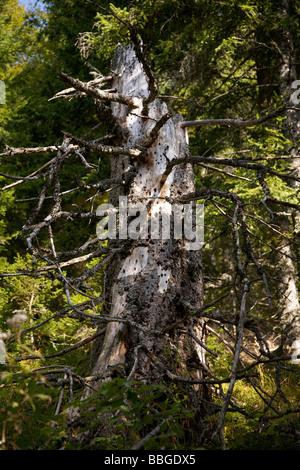 Deadwood, dead Spruce (Picea) on Mt Feldberg in the Black Forest, Germany, Europe - Stock Photo