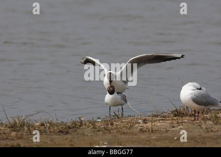 Black headed gull Larus ridibundus mating pair - Stock Photo