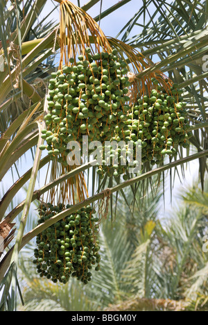 Dates growing in a palm tree at the Palm Arboretum Oasis farm Thermal CA - Stock Photo