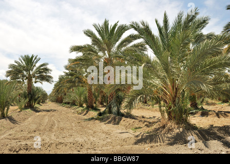 Date Palm trees at the Palm Arboretum Oasis date palm farm Thermal CA - Stock Photo