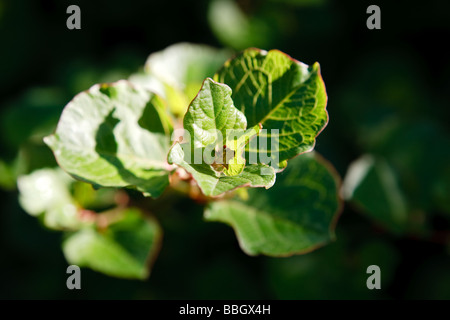 Japanese Knotweed (Fallopia japonica) - Stock Photo