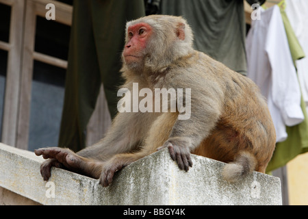 'Rhesus macaque' monkey 'Macaca mulatta', large adult monkey sat on building wall, Vietnam - Stock Photo