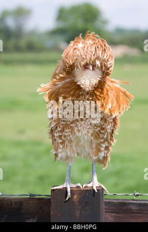 Polish Frizzle Bantam stood on a fence. - Stock Photo