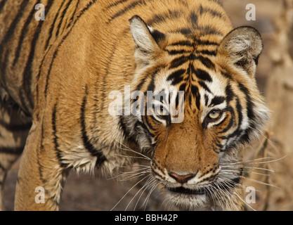 Bengal tiger (Panthera tigris tigris) stalking through the bush. An endangered species in Ranthambore National Park, Rajasthan, India.