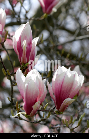 Magnolia Liliiflora blooms during spring in Boise Idaho - Stock Photo