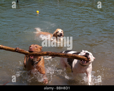 Two Pit Bulls carry a branch out of the water at Dog Beach - Stock Photo