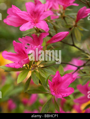 Vibrant pink Rhododendron - Stock Photo