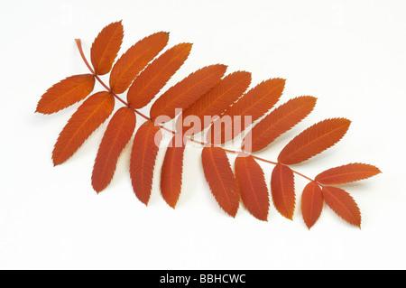 True Service Tree (Sorbus domestica), autumn leaf, studio picture - Stock Photo
