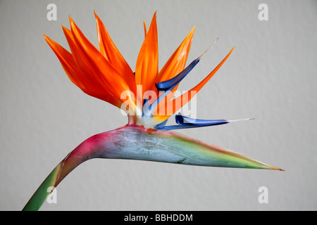 'bird of paradise' 'strelitzia reginae' flower head landscape format - Stock Photo