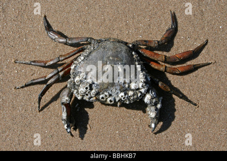 Common Shore Crab Carcinus maenas Covered In Barnacles On The Beach Taken at New Brighton, The Wirral, Merseyside, - Stock Photo