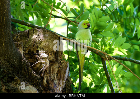 Rose-ringed Parakeet - Psittacula krameri - Stock Photo