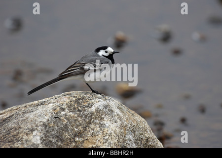 Pied Wagtail Motacilla alba yarrellii sitting on a rock by the side of a loch in profile - Stock Photo