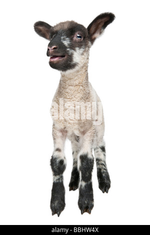 Black and white Lamb facing the camera 15 days old in front of a white background - Stock Photo
