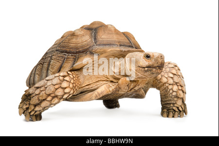 African Spurred Tortoise also know as African Spur Thigh Tortoise Geochelone sulcata in front of a white background - Stock Photo