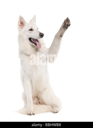 White Shepherd Dog 1 year old in front of a white background - Stock Photo
