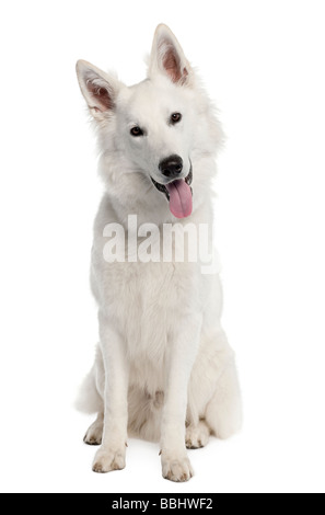 White Shepherd Dog 9 months old in front of a white background - Stock Photo