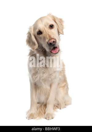 Golden Retriever 5 years old in front of a white background - Stock Photo
