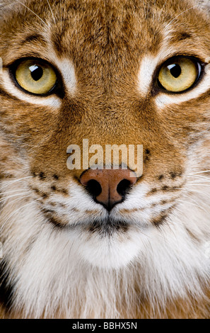Close up of a Eurasian Lynx's head Lynx lynx 5 years old in front of a white background - Stock Photo