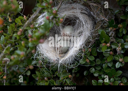 Damaged Chaffinches Nest and Eggs - Stock Photo