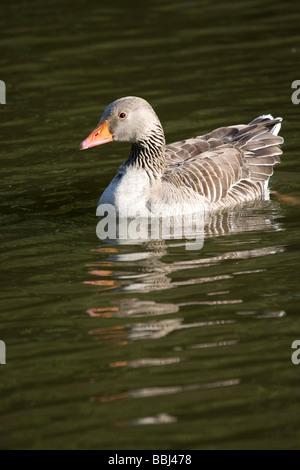 Greylag Grey Lag Goose Ariser anser (Anatidae)