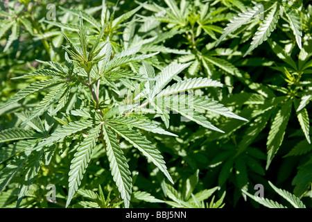 Cannabis sativa growing wild in the Indian Himalaya, Kullu, India - Stock Photo