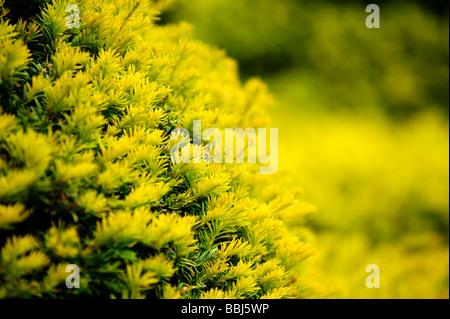 Close up of Yew Tree hedge - Stock Photo