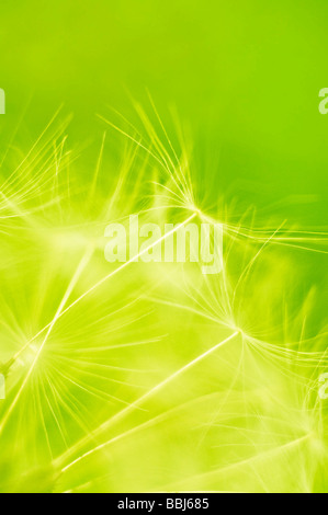 Dandelion seeds blown in the wind - Stock Photo